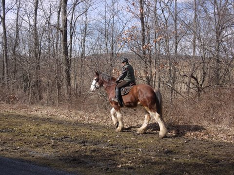 Clydesdale on Columbia Trail, Hunterdon or Morris County, NJ