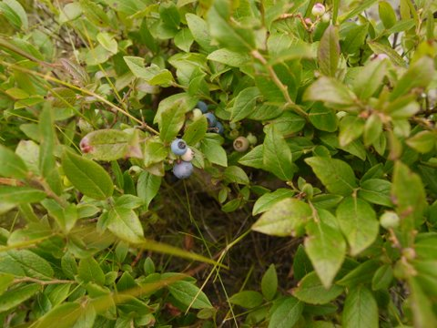 Blueberries growing wild