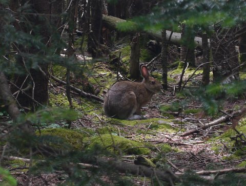 A snowshoe hare, with summer-camouflaged fur