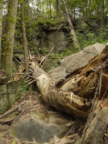 Shattered tree, Ward Pound Ridge Reservation, Westchester County, NY